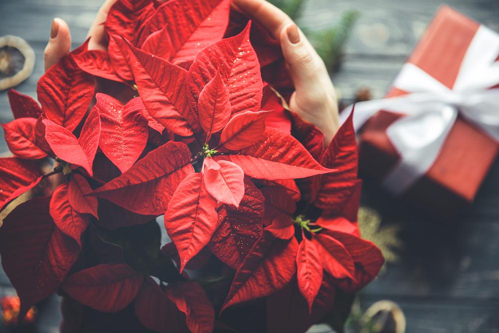 La flor de Nochebuena, es reconocida en el mundo como símbolo de la Navidad.