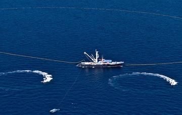 La captura de esta especie comenzó a partir de las 00:00 horas de hoy, lunes 20 de enero, con embarcaciones cerqueras.