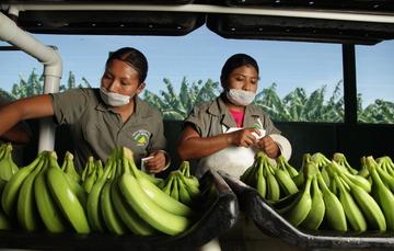 Mujeres trabajadoras preparando plátanos para empaquetado.