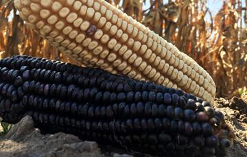Mazorcas de maíz colocadas una sobre otra en el suelo.