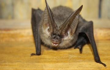 Sin murciélagos, los mamíferos más pequeños, la alimentación humana estaría en riesgo: las cosechas de granos y muchas especies de plantas se perderían. Sus servicios ambientales son imprescindibles.