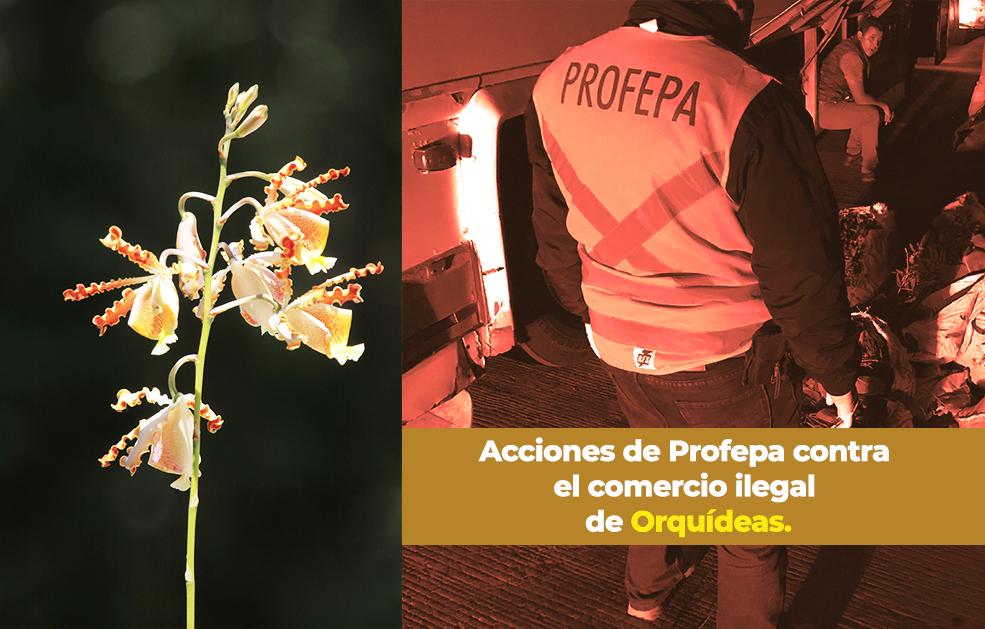 Acciones de Profepa contra el comercio ilegal de Orquídeas.
