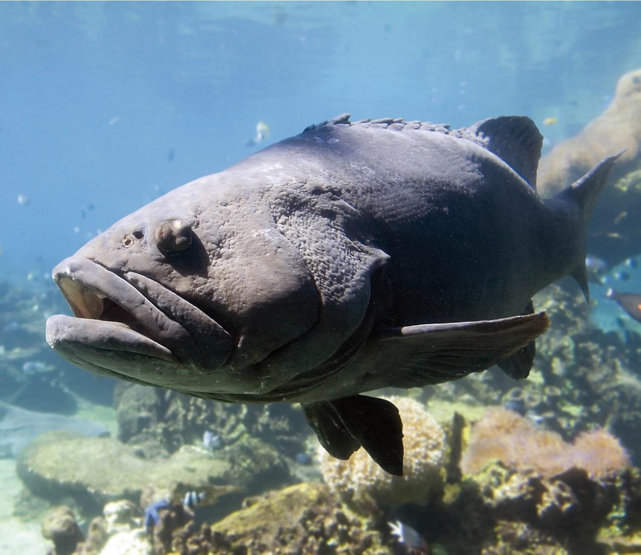 Cifras preliminares arrojan que en la temporada de pesca 2019 se capturaron más de siete mil toneladas de mero en los estados de Tabasco, Campeche, Yucatán y Quintana Roo.