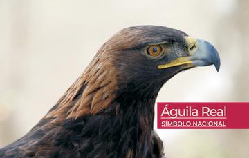 Águila real, especie emblemática de México.
