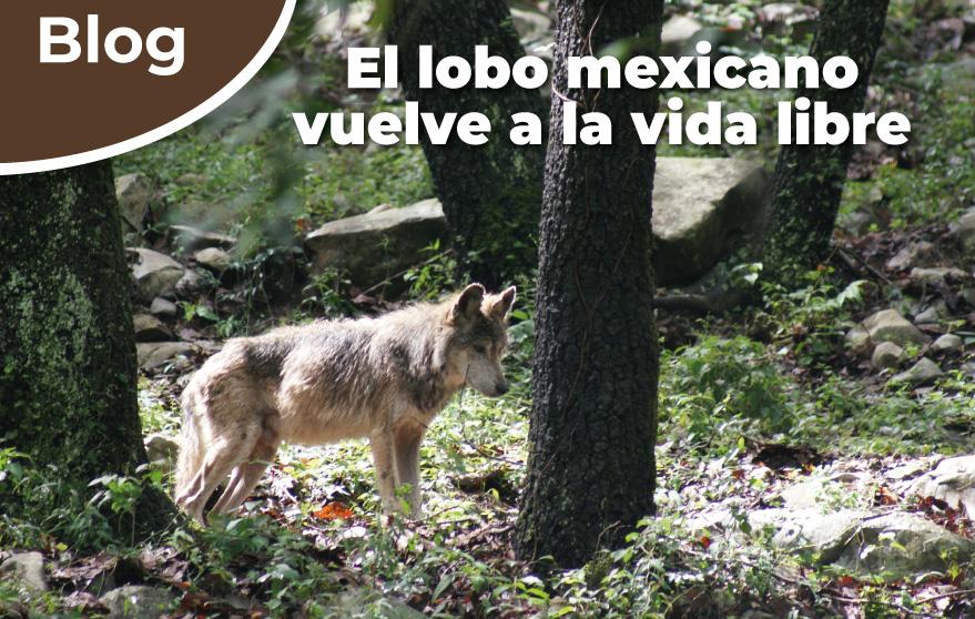 El lobo mexicano vuelve a la vida libre