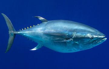 Con acciones de observación y verificación coordinadas con la industria atunera del océano Pacífico Oriental, el Gobierno de México cumple con las medidas para la conservación y ordenación del atún aleta azul.