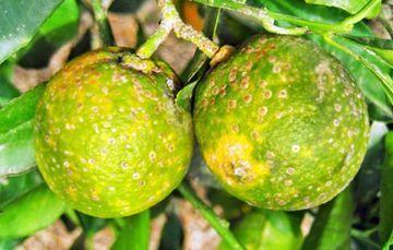 El TecNM campus Colima investiga cómo combatir al hongo causante de disminución en cosecha de limones.