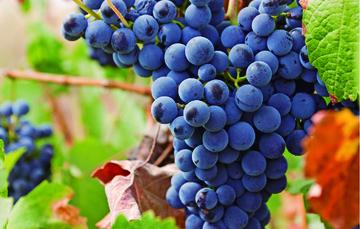 La uva es una de las frutas más difundidas del mundo. Se utiliza tanto como fruta fresca o procesada en forma de pasas, jugo de uva y vino.