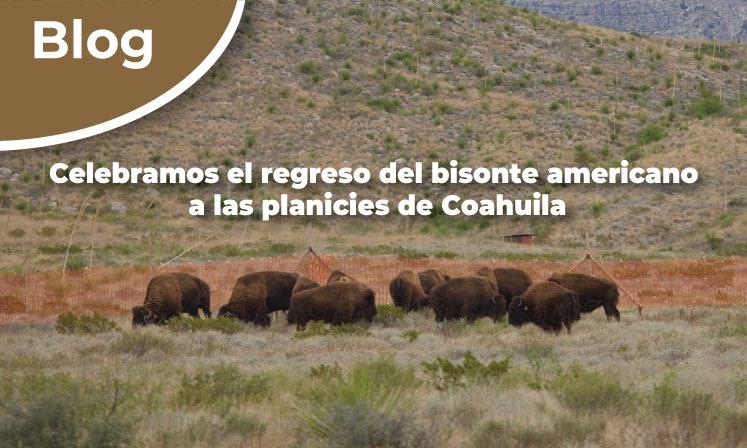 Celebramos el regreso del bisonte americano a las planicies de Coahuila