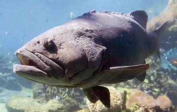 Cifras preliminares de la Comisión Nacional de Acuacultura y Pesca (Conapesca) destacan un volumen de producción de siete mil 467 toneladas en la región del Golfo de México, con un valor comercial de 324.80 millones de pesos.