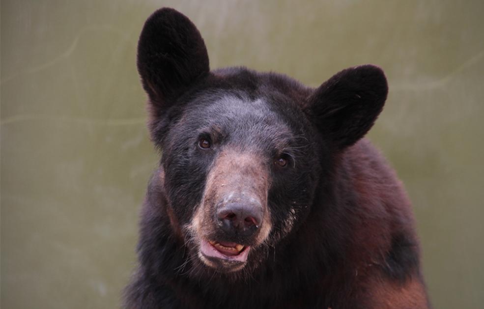 Atención y protección de osos  en  zonas urbanas