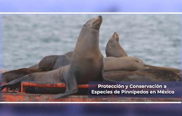 Protección y conservación de pinnípedos en México