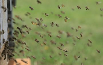 Las abejas, junto con las mariposas, los murciélagos y colibríes polinizan 170 mil plantas silvestres y cultivadas del planeta, sin las cuales la vida sería imposible para el ser humano.