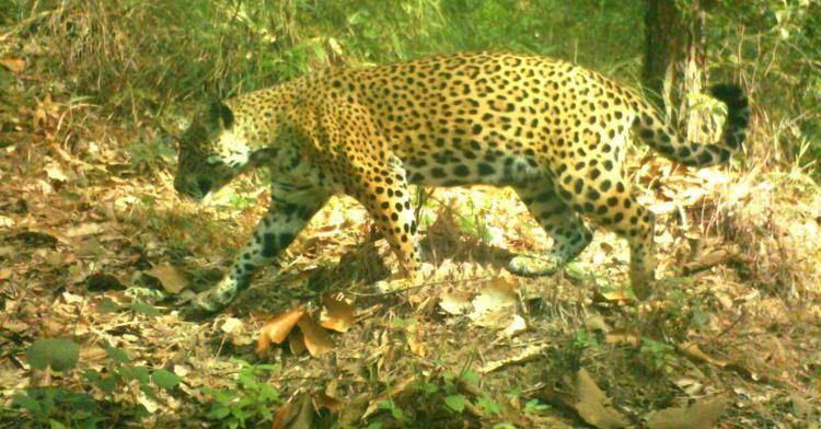 Jaguar captado en Las Guasimas, Nayarit.