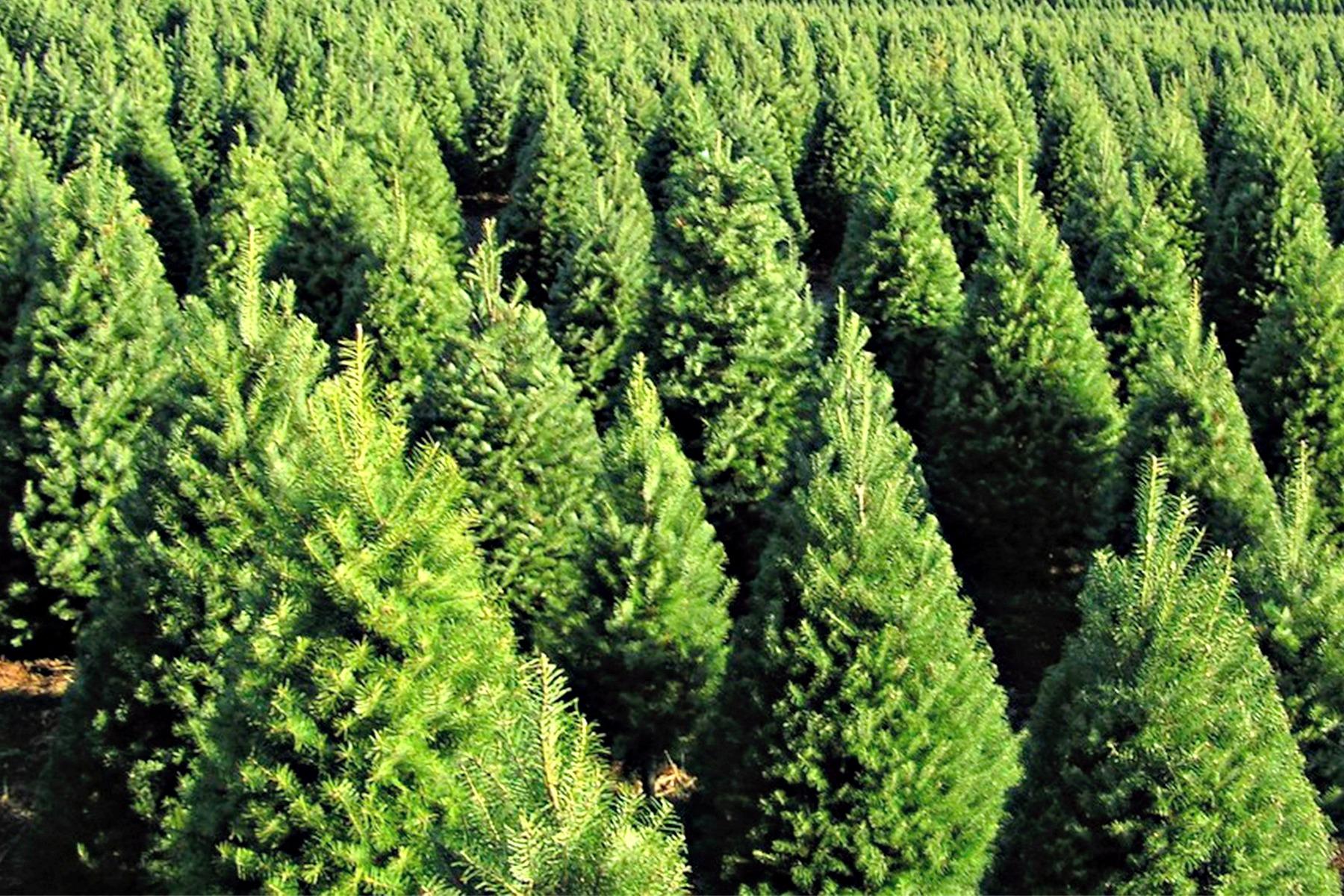 Plantacion de arboles de navidad