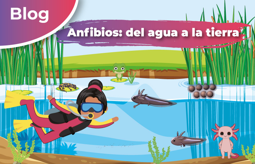La presencia de los anfibios en la tierra se remonta a más de 350 millones de años, de acuerdo a los primeros fósiles encontrados. Este grupo de vertebrados está conformado por las ranas, sapos, cecilias y salamandras.