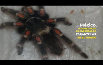 México, segundo lugar del mundo en diversidad de tarántulas
