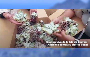 Siempreviva de la Isla de Cedros: Acciones contra su tráfico ilegal
