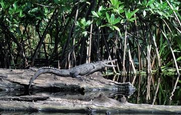 Las tres especies de cocodrilos en México