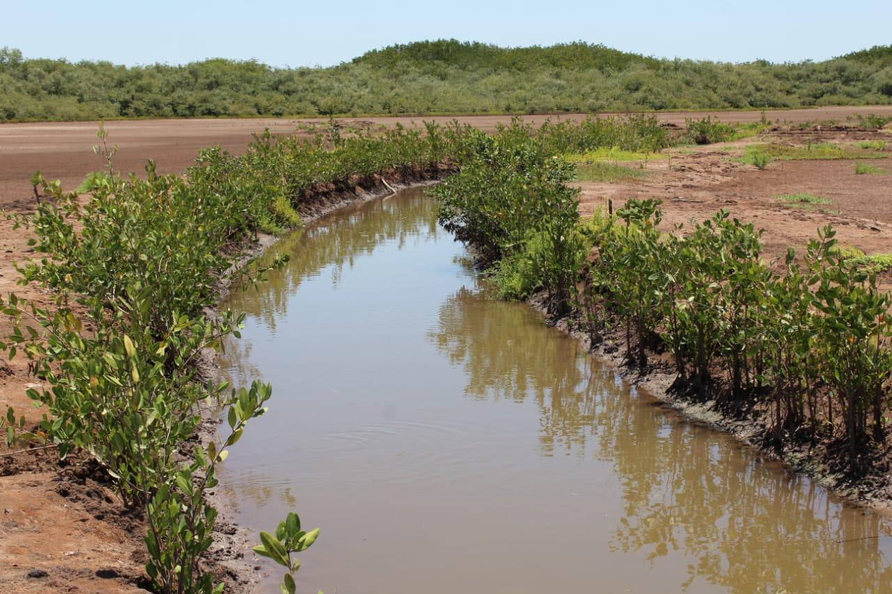 Imagen de restauración de manglar.