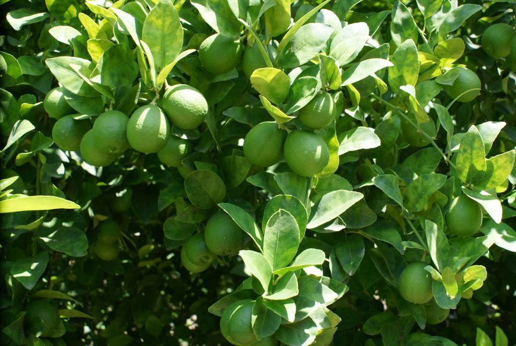 Limón Colimex
