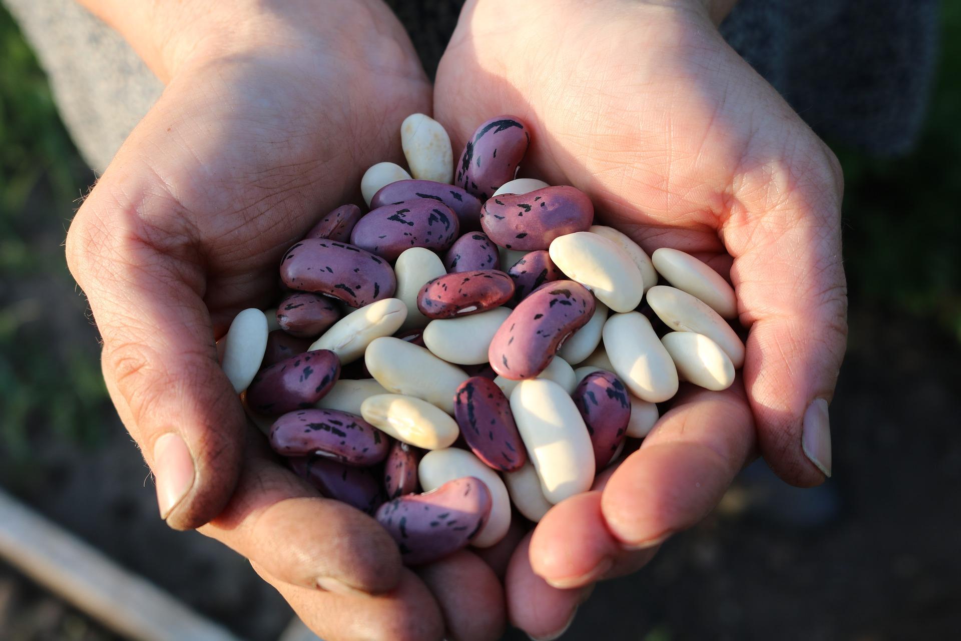 Política integral de comercialización de frijol, Sinaloa