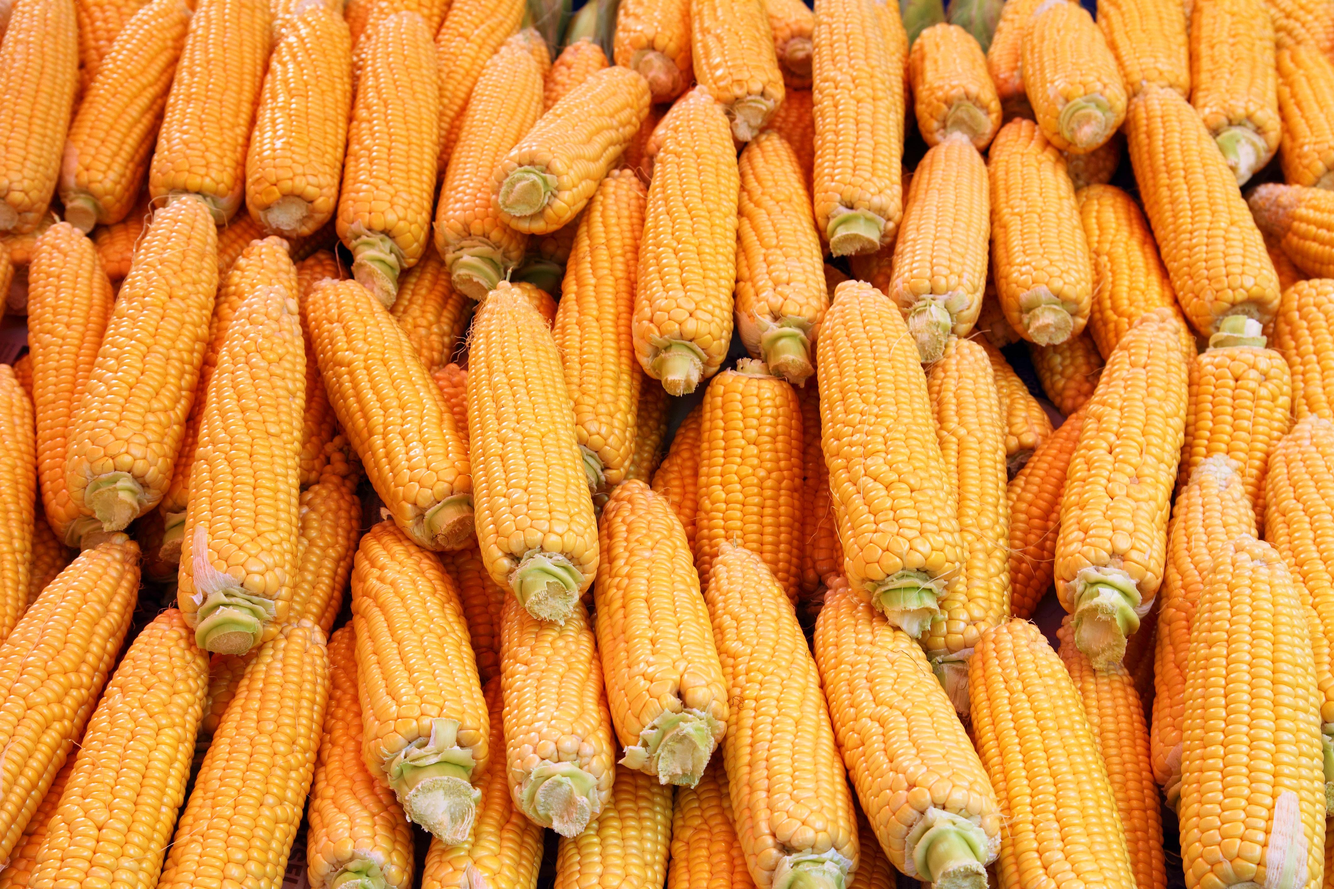 maíz amarillo