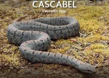 Portada del PACE Serpientes de Cascabel (Crotalus spp.)