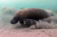Small el 7 de septiembre  di a del manati   la reserva de la biosfera pantanos de centla  en tabasco  realizara n diversas actividades de sensibilizacio n y difusio n de esta especie