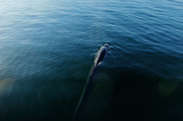 Small ballena azul ruta migratoria.jpg
