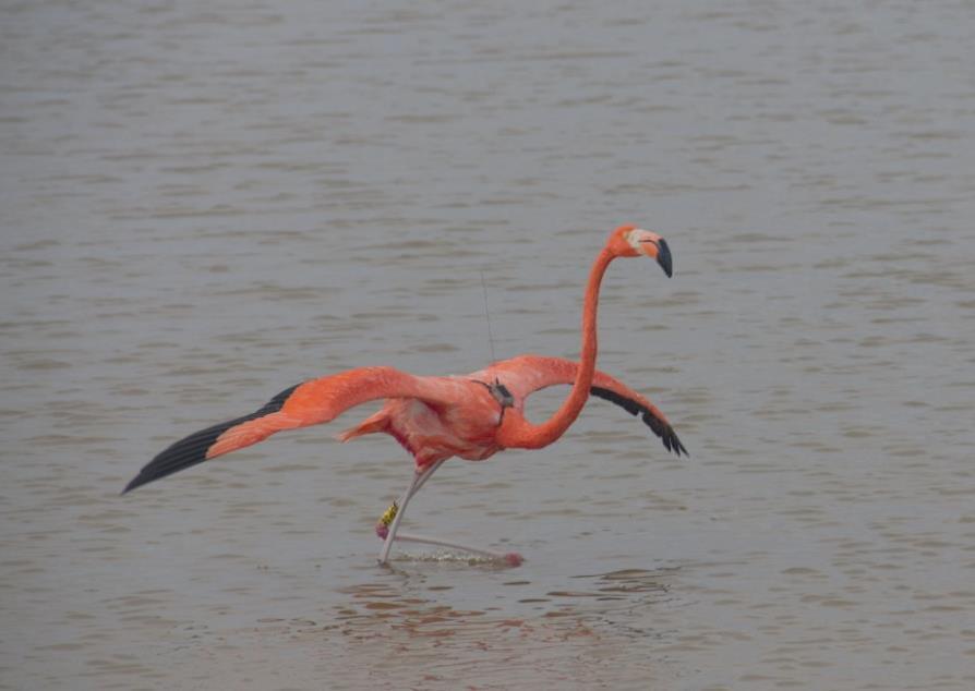 La principal zona de anidación del flamenco del Caribe en México, corresponde a los humedales costeros de la Reserva de la Biosfera de Ría Lagartos
