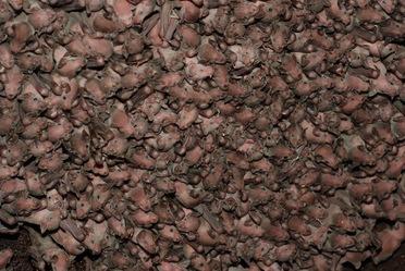 La Cueva de la Boca, ubicada en el Municipio de Santiago, Nuevo León, alberga una colonia de maternidad de 5 millones de murciélagos