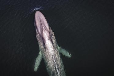 Entre enero y marzo, México recibe a la ballena azul en el Área Natural Protegida (ANP) Bahía de Loreto, en Baja California Sur