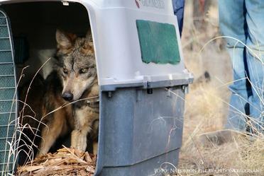 El grupo familiar fue liberado en el Estado de Chihuahua y está formado por una pareja reproductiva y tres crías