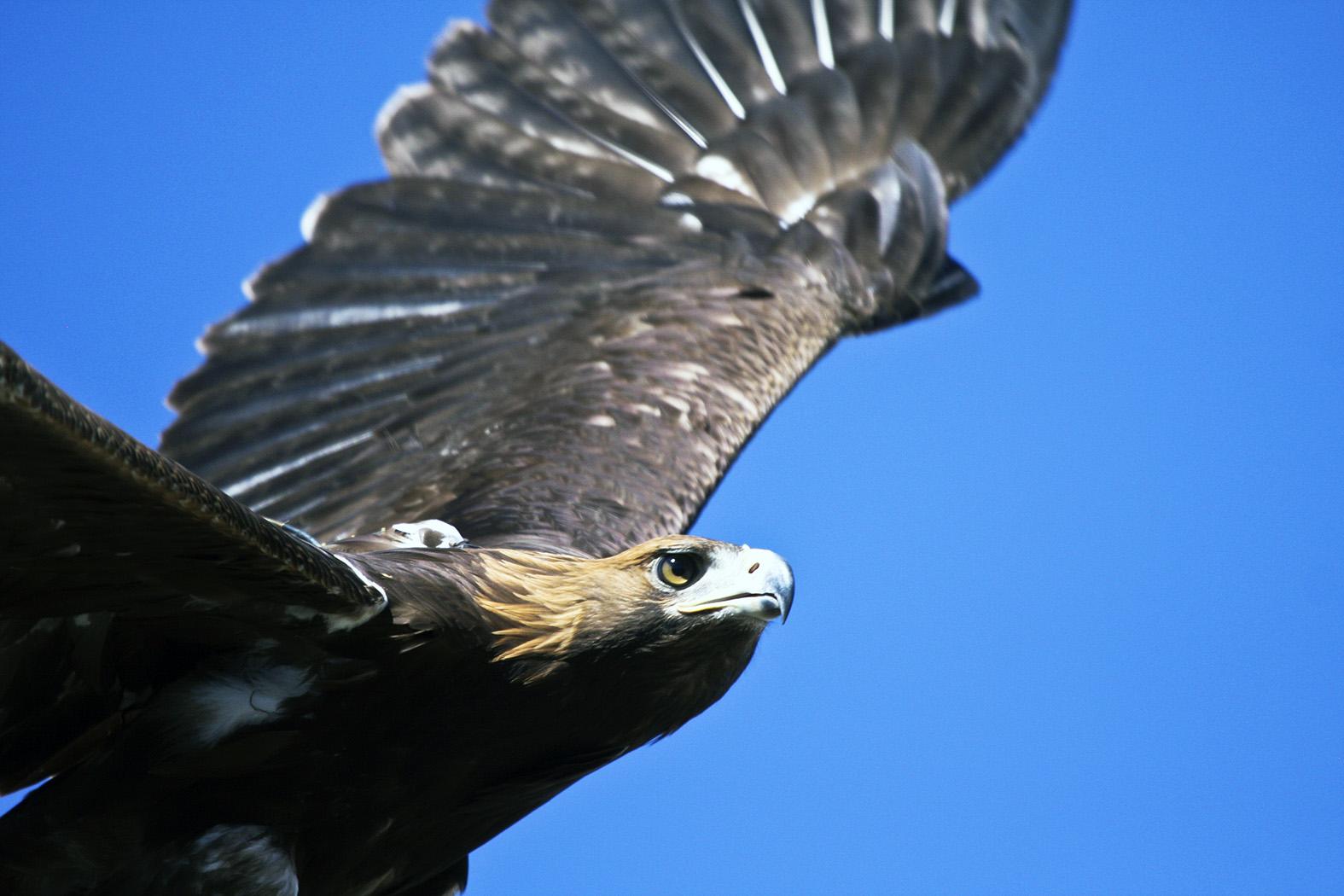 El águila real presenta territorios de anidación en al menos 31 ANP, por lo que la CONANP trabaja constantemente para su protección y conservación