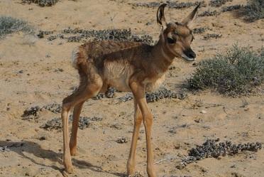 En el Área Natural Protegida (ANP) Valle de los Cirios, ubicada en Baja California, nacieron 11 crías de berrendo peninsular