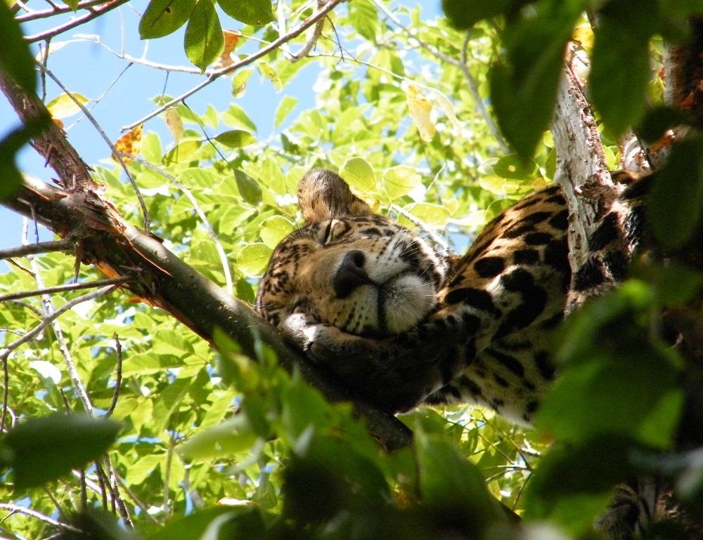 México busca crear la primer Área Protegida Trinacional con Belice y Guatemala para proteger el jaguar y la selva maya
