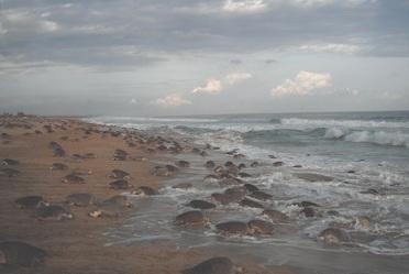 El Santuario Morro Ayuta en Oaxaca, es una de las 12 playas del mundo donde se presentan anidaciones masivas de tortuga golfina