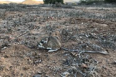 La rata canguro de San Quintín (Dipodomys gravipes) fue vista por última vez en 1986