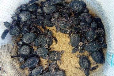 Durante la temporada de anidación de tortuga lora 2018, se han registrado 6 mil anidaciones