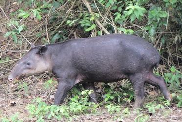 El avistamiento de una hembra de tapir centroamericano en estado de gestación es indicador de que las estrategias de conservación en la RB Montes Azules han sido exitosas