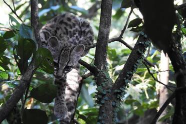 La CONANP registró el avistamiento de un tigrillo gracias al monitoreo conjunto que realiza con comunidades nahuas y totonacas