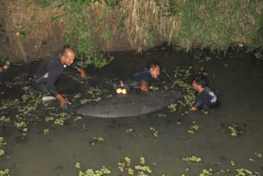 El 29 de julio se rescató a una hembra de 2.5 m y aproximadamente 400 kg. Con esta captura ya hay dos individuos de manatí rescatados en la Estación Tres Brazos de la CONANP