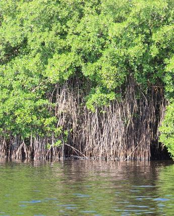 Restauración de manglares en Campeche