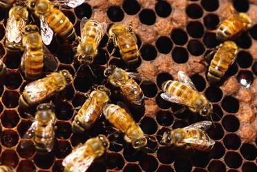 Unen esfuerzos y crean estrategia nacional para proteger a las abejas e impulsar la producción de miel