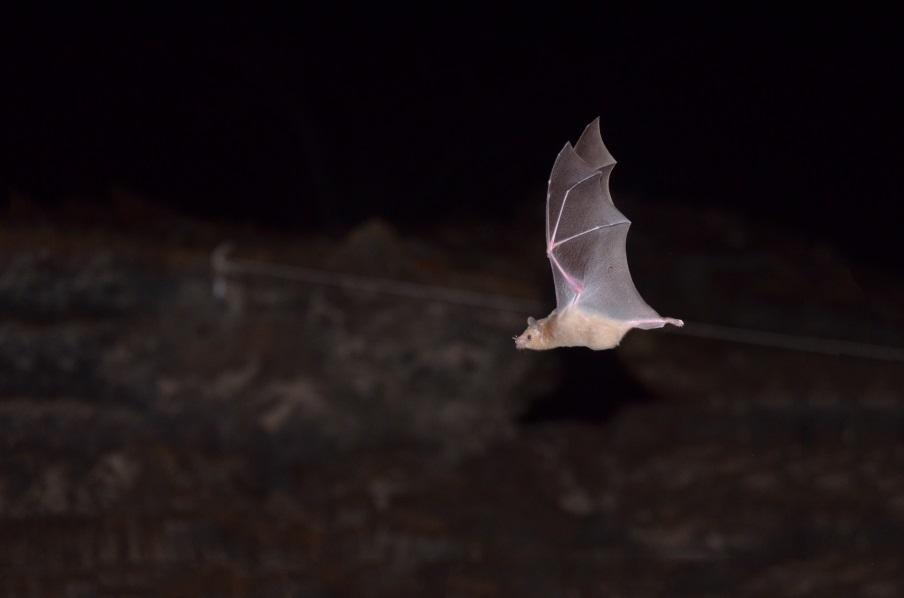 En el mundo hay más de 1,300 especies de murciélagos, México es hogar de 138, cerca del 10% de la diversidad mundial