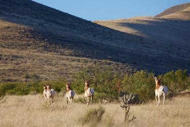 Esta liberación enriquece la población de berrendo local y evita su extinción en los pastizales del Estado de Chihuahua