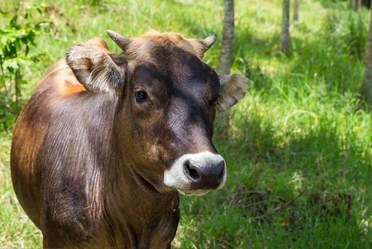 Qatar muestra mayor interés en ganado bovino de México