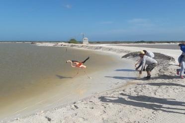 Estas acciones forman parte del Programa de Conservación del Flamenco Rosado que la CONANP vienen realizando por más de 20 años