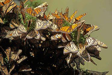 Las Mariposas Monarca están llegando como todos los años en el mes de noviembre a los Bosques de Oyamel en los Santuarios del Estado de México y Michoacán